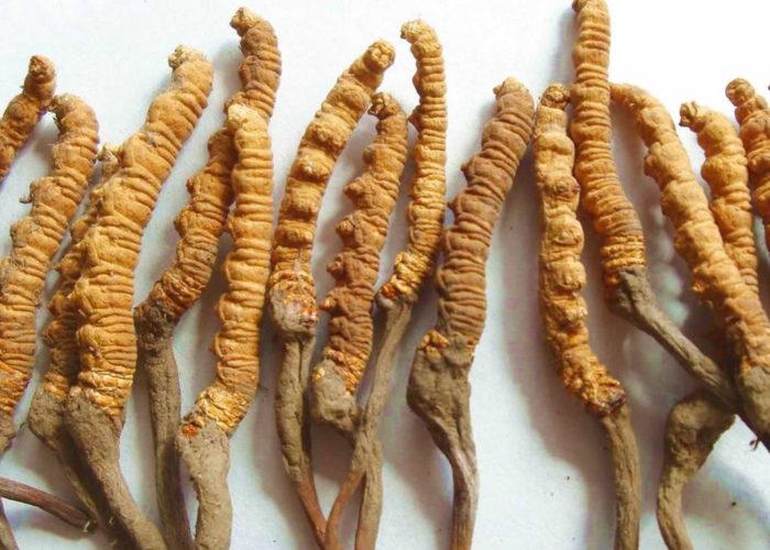 Cordyceps Sinensis: fungo medicinale della longevità